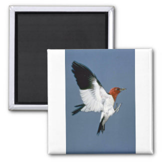Red-headed Woodpecker in flight Square Magnet