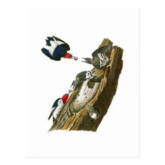 Red headed Woodpecker John Audubon Birds America Postcard