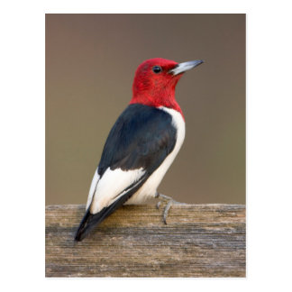 Red-headed Woodpecker on fence Postcard
