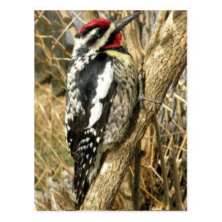 Red headed woodpecker postcard