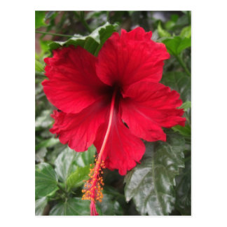Red Hibiscus 1 Postcard