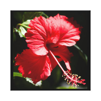 Red Hibiscus in the Sun Canvas Print