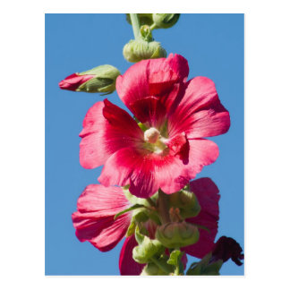 Red Hollyhock Against a Blue Sky Postcard