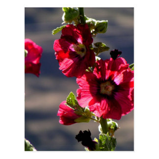 Red Hollyhocks in a summer garden Postcard