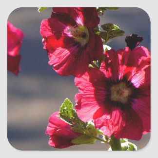 Red Hollyhocks in a summer garden Square Sticker