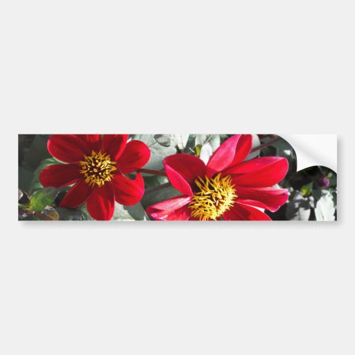 red hot pink daisy / daisies flowers bumper stickers
