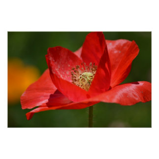 Red Iceland Poppy Flower Poster