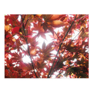 Red Japanese Maple Tree Trees Leaves Photo Postcard