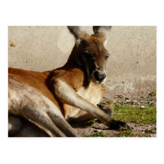 red kangaroo postcard