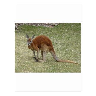 red kangaroo postcard