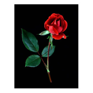Red Knockout Rose Postcard