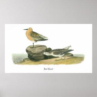 Red Knot, John Audubon Poster