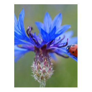 Red Ladybird Beetle Blue Cornflower Postcard