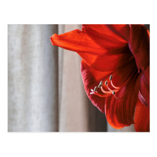 Red Lion Amaryllis Flower Photo Postcard