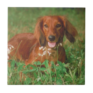 Red Long Haired Dachshund Tile