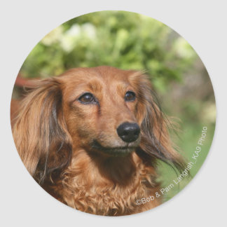 Red Long-haired Miniature Dachshund Classic Round Sticker