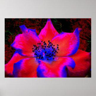 Red Magental Blue Rose On Black Poster