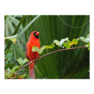 Red male Cardinal on vine Photo Print