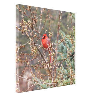 Red Male Cardinal Perched on Hedges Canvas