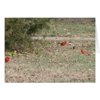 Red Male Cardinals On Ground Card