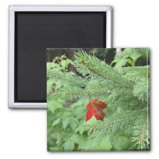 Red Maple Leaf on Pine Branch Magnet