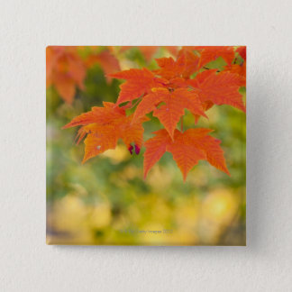 Red Maple Leaves in Autumn 2 Inch Square Button