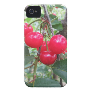 Red Montmorency cherries on tree in cherry orchard Case-Mate iPhone 4 Case