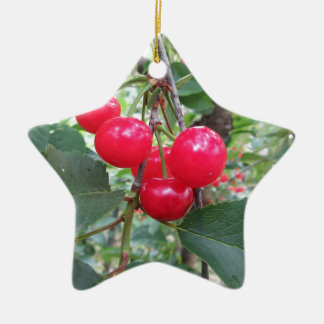 Red Montmorency cherries on tree in cherry orchard Ceramic Ornament