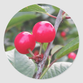 Red Montmorency cherries on tree in cherry orchard Classic Round Sticker