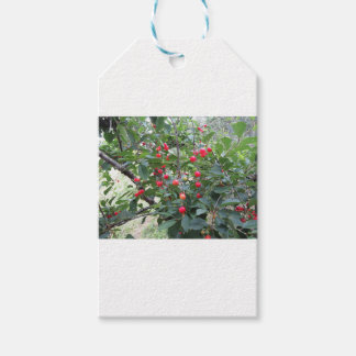 Red Montmorency cherries on tree in cherry orchard Gift Tags