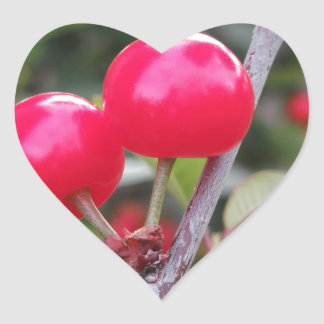 Red Montmorency cherries on tree in cherry orchard Heart Sticker