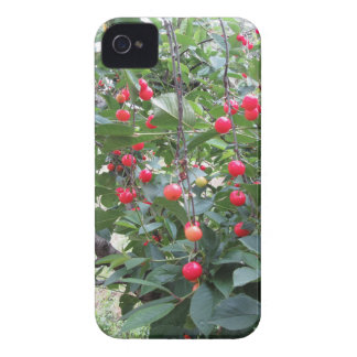 Red Montmorency cherries on tree in cherry orchard iPhone 4 Case-Mate Cases