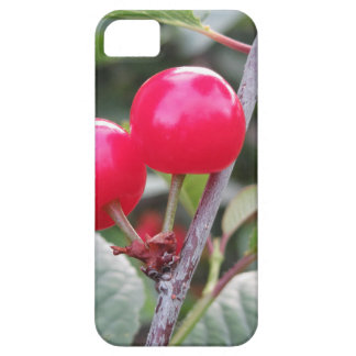Red Montmorency cherries on tree in cherry orchard iPhone 5 Cases