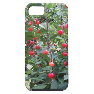 Red Montmorency cherries on tree in cherry orchard iPhone 5 Cover