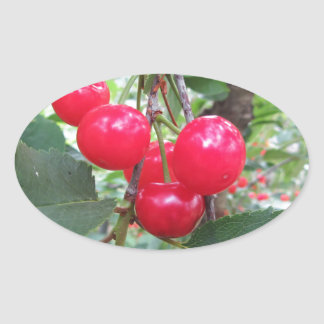 Red Montmorency cherries on tree in cherry orchard Oval Sticker