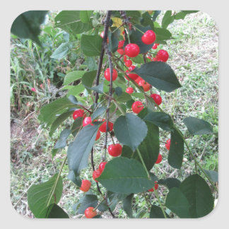 Red Montmorency cherries on tree in cherry orchard Square Sticker