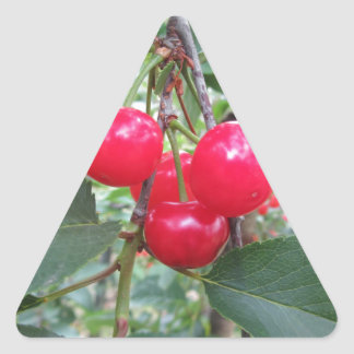 Red Montmorency cherries on tree in cherry orchard Triangle Sticker