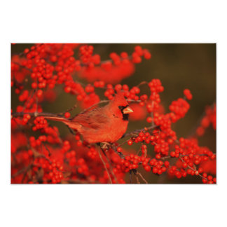 Red Northern Cardinal Male, IL Poster