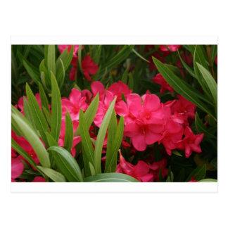 Red Oleander Postcard