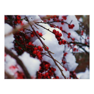 Red on White Berries in the Snow Poster