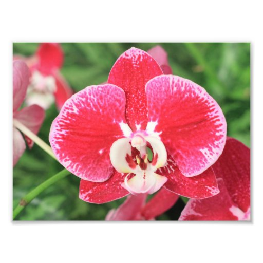 Red Orchid bloosom Photo Art