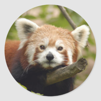 red-panda-004 classic round sticker