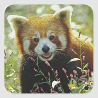 red panda bear square sticker