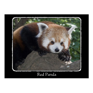 Red Panda close up with border Postcard