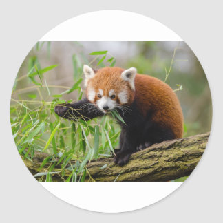 Red Panda Eating Green Leaf Classic Round Sticker