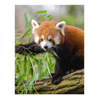 Red Panda Eating Green Leaf Letterhead