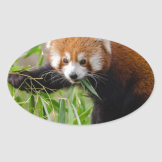 Red Panda Eating Green Leaf Oval Sticker