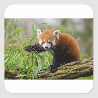 Red Panda Eating Green Leaf Square Sticker