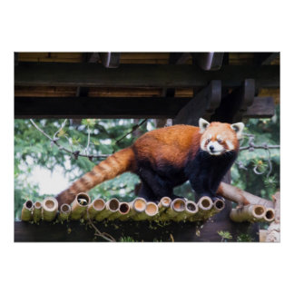 Red panda in a roost poster