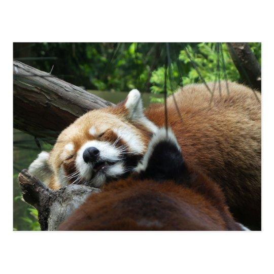 Red Panda Sleeping Postcard